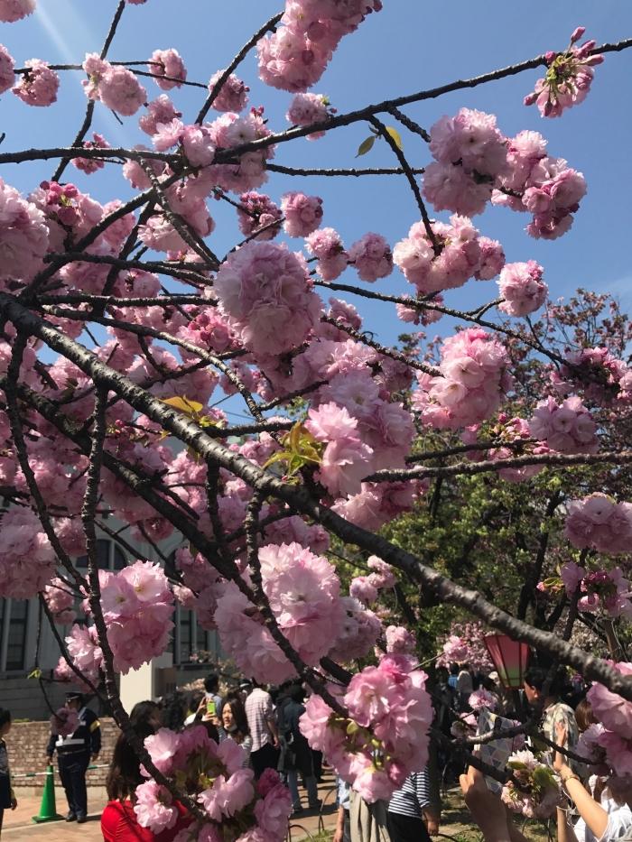 【 桜ってどうしてますか? 】